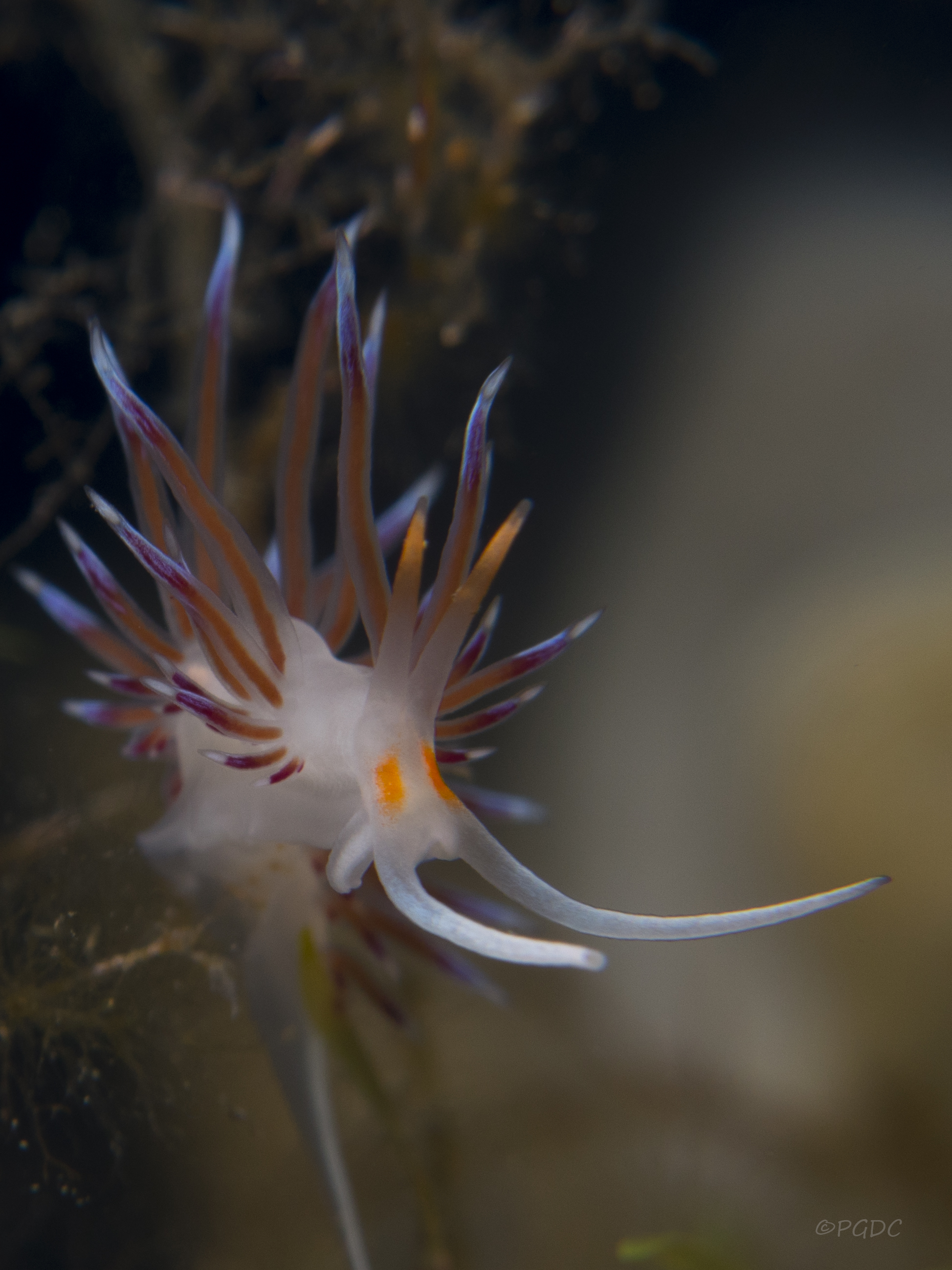 nudibranco